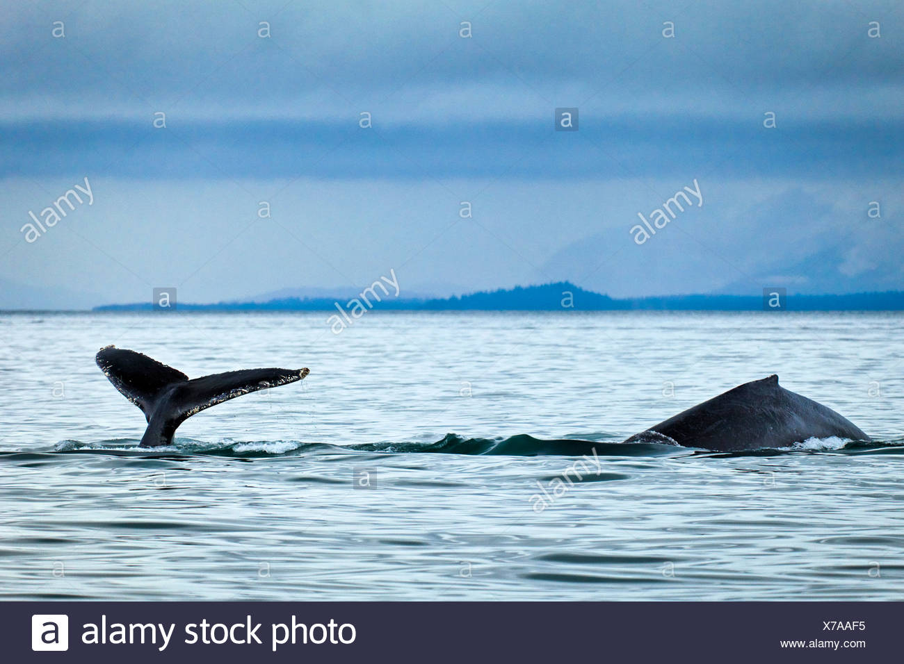 Humpback Whales showing fluke and back fin in Icy Strait, Glacier Bay National Park & Preserve, Inside Passage - Stock Image