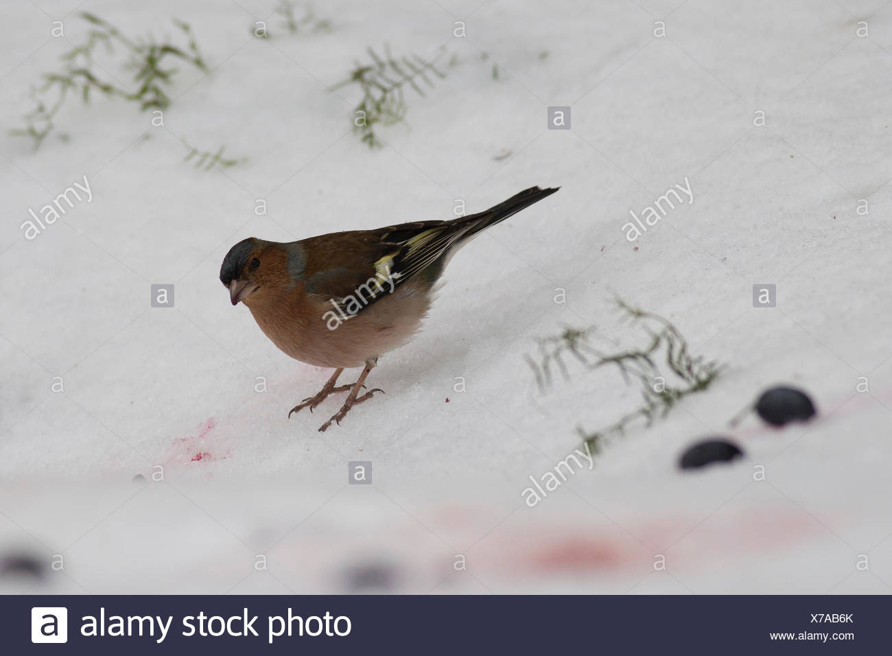 Chaffinch. Male chaffinch (Fringilla coelebs) in the snow. Chaffinches are non-migratory birds that eat mainly seeds. They are f - Stock Image