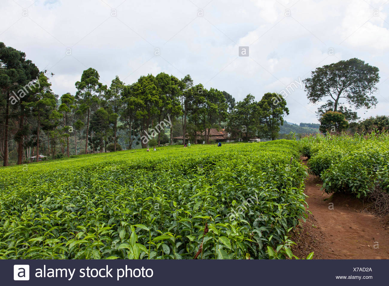 path in tea plantation in rainy season, Burundi, Gitega Stock Photo