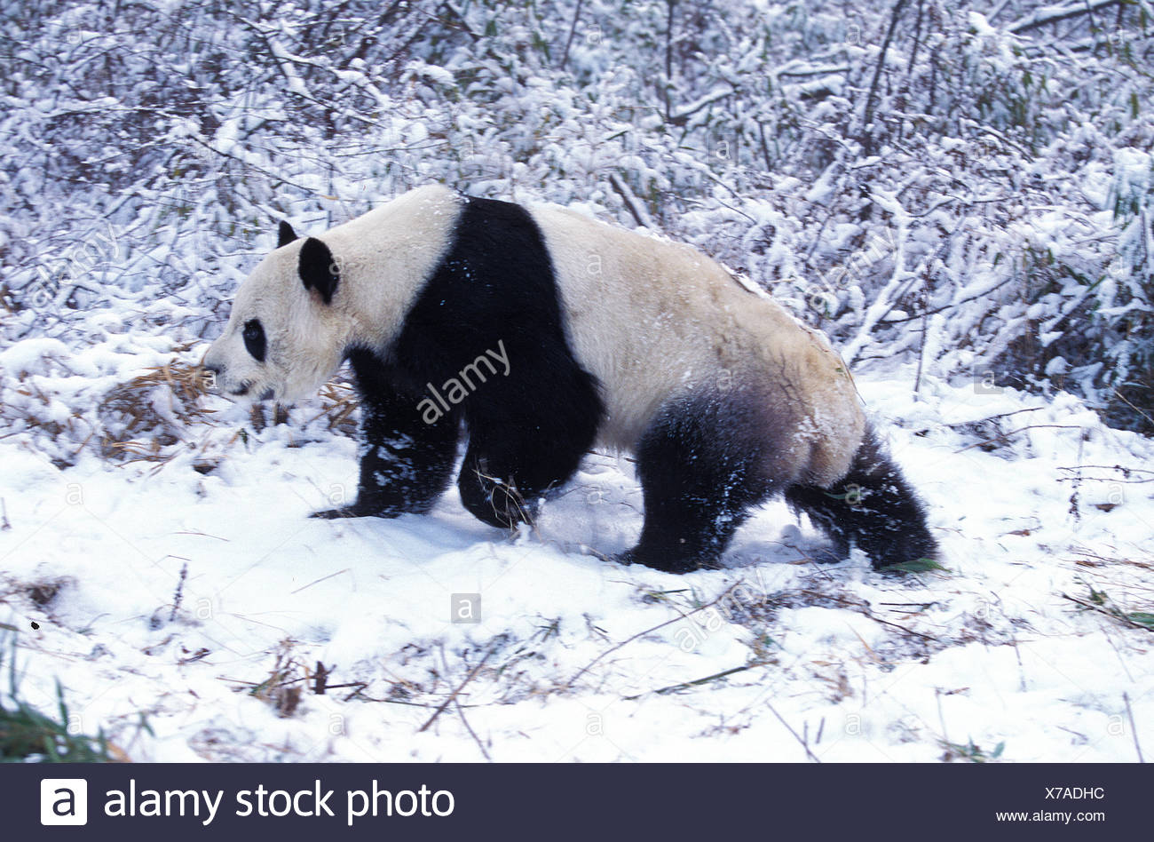 Giant Panda, ailuropoda melanoleuca, Adult on Snow, Wolong Reserve in China Stock Photo