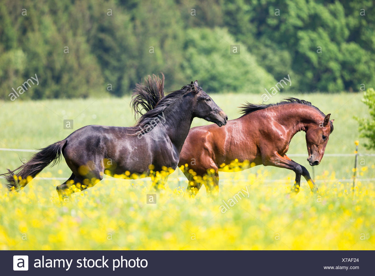 Paso Iberoamericano. Two young stallions squabbling on a pasture. Germany - Stock Image