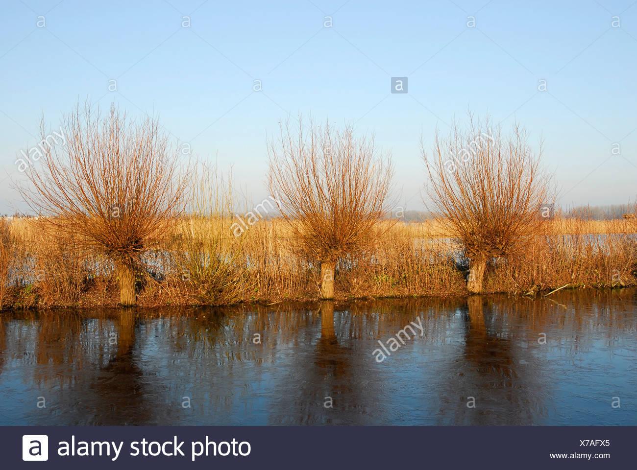 Pollard willow trees at lakeside, Reeuwijkse Plassen, South Holland, The Netherlands - Stock Image