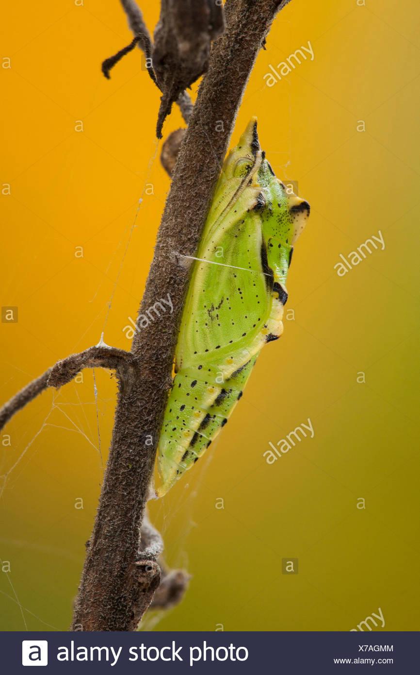 Green-veined white, Green veined white (Pieris napi, Artogeia napi), butterfly pupa at a stem, Germany, Rhineland-Palatinate - Stock Image