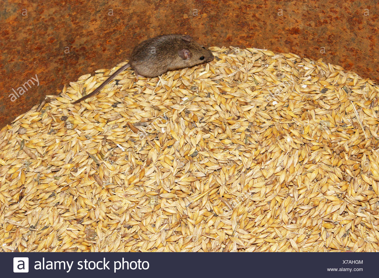 little grey mouse running on the wheat in the pantry - Stock Image