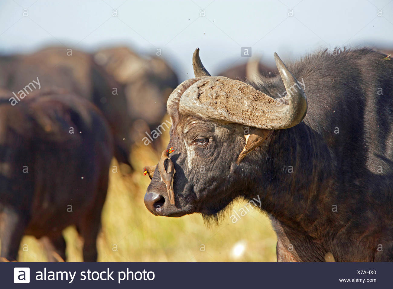 Red-billed Oxpecker (Buphagus erythrorhynchus), with Cape Buffalo, Kenya, Masai Mara National Park - Stock Image