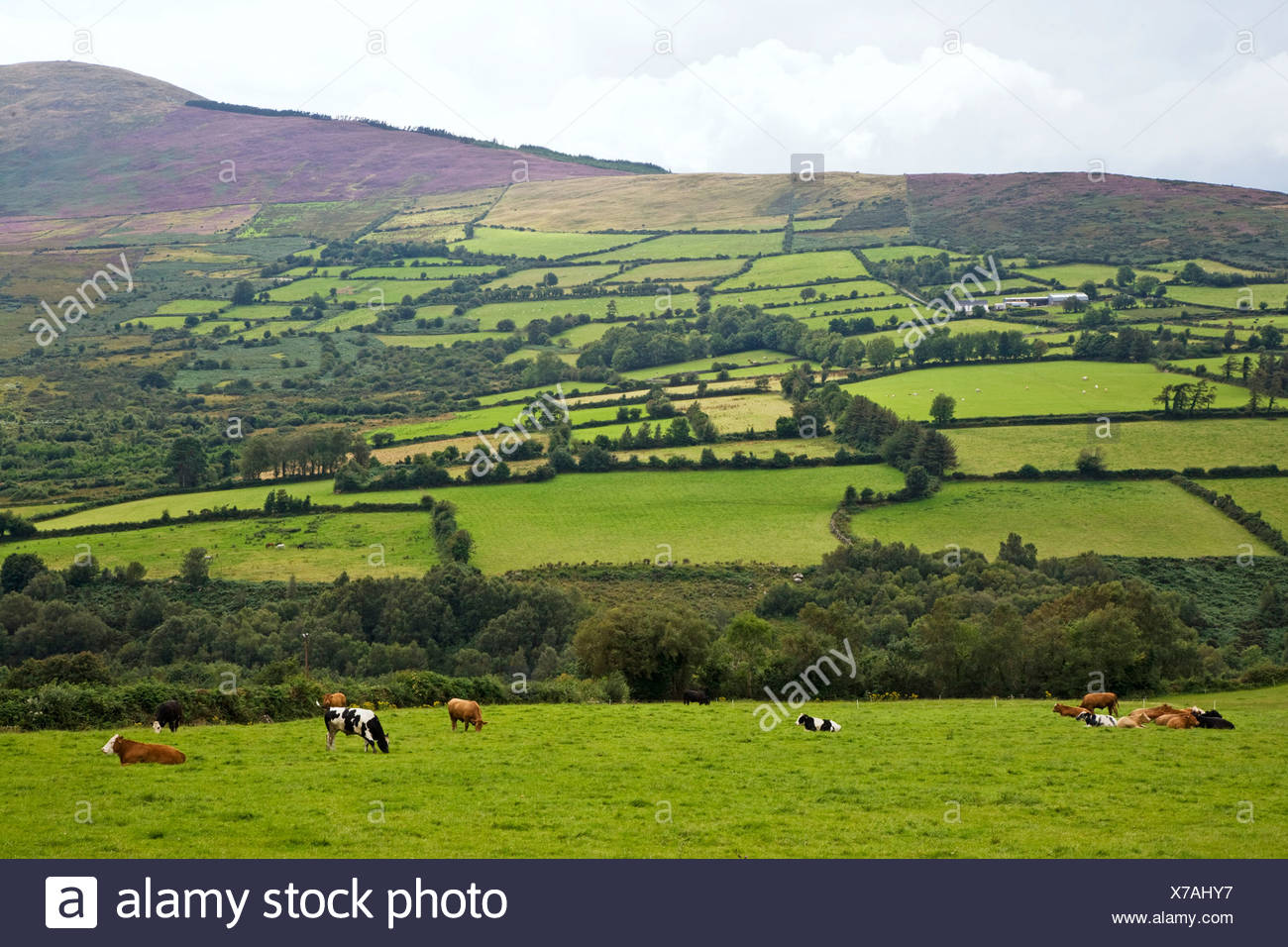 Republic of Ireland, County Carlow, Mount Leinster and district, cows grazing and lying down in field - Stock Image