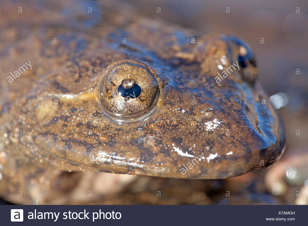 Photo of a Maluti river frog, it has an umbraculum in its eye that protects the eye from UV radiation and is an adaptation for living on high altitudes Stock Photo