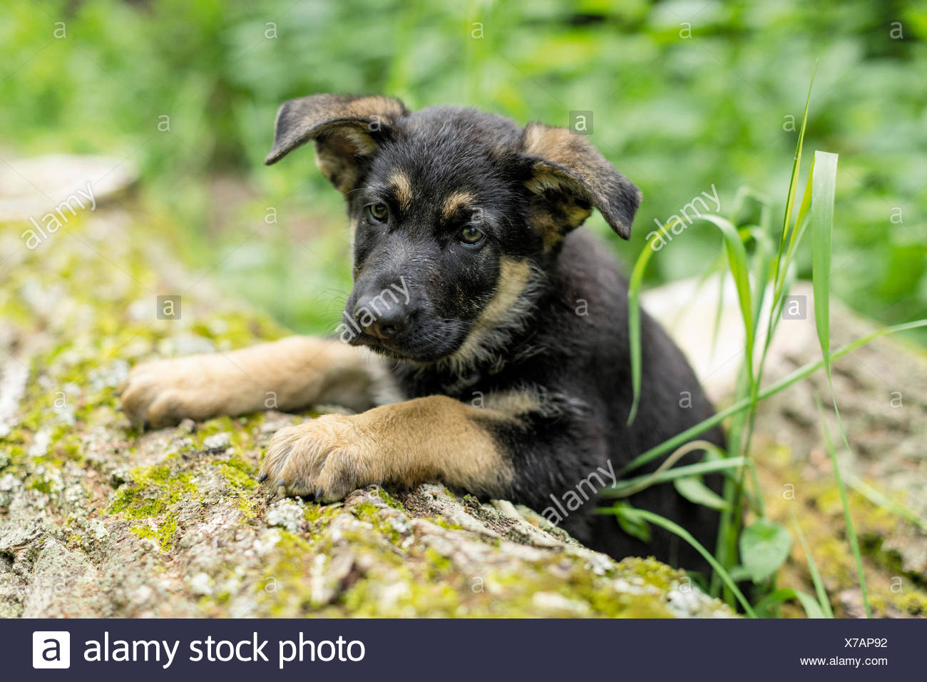 German Shepherd, Alsatian Puppy lying log Stock Photo