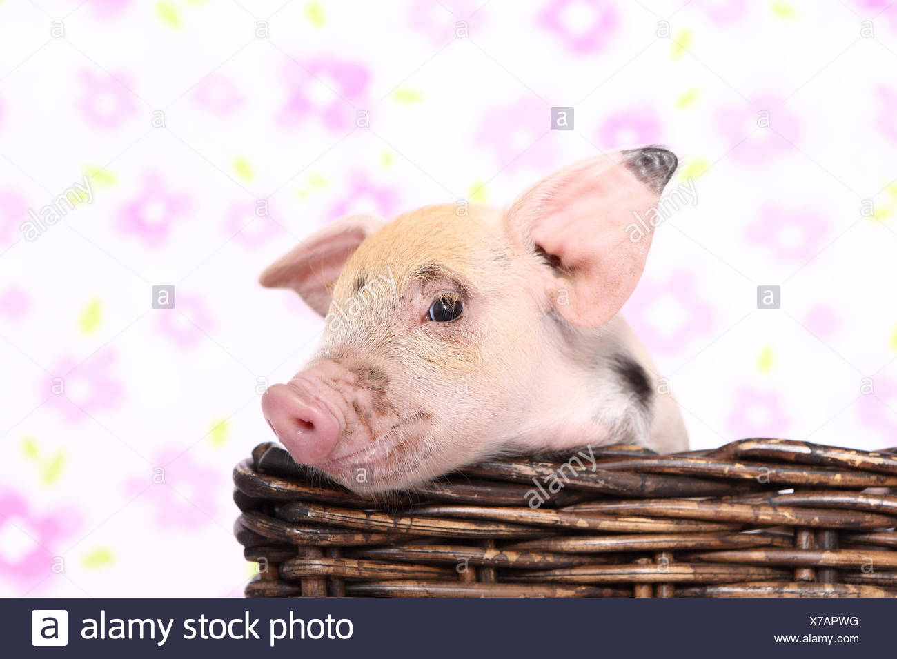 Domestic Pig, Turopolje x ?. Piglet in a basket. Studio picture seen against a white background with flower print. Germany - Stock Image