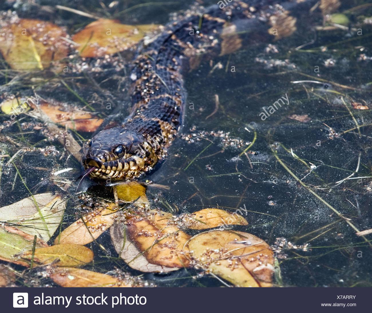 Brown water snake Stock Photo