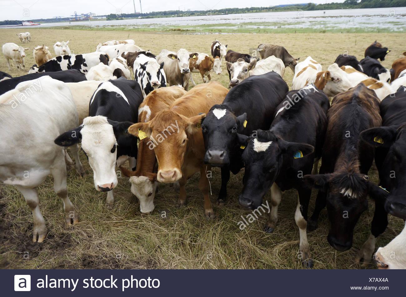 Kuhherde auf einer Weide am Rhein - Stock Image
