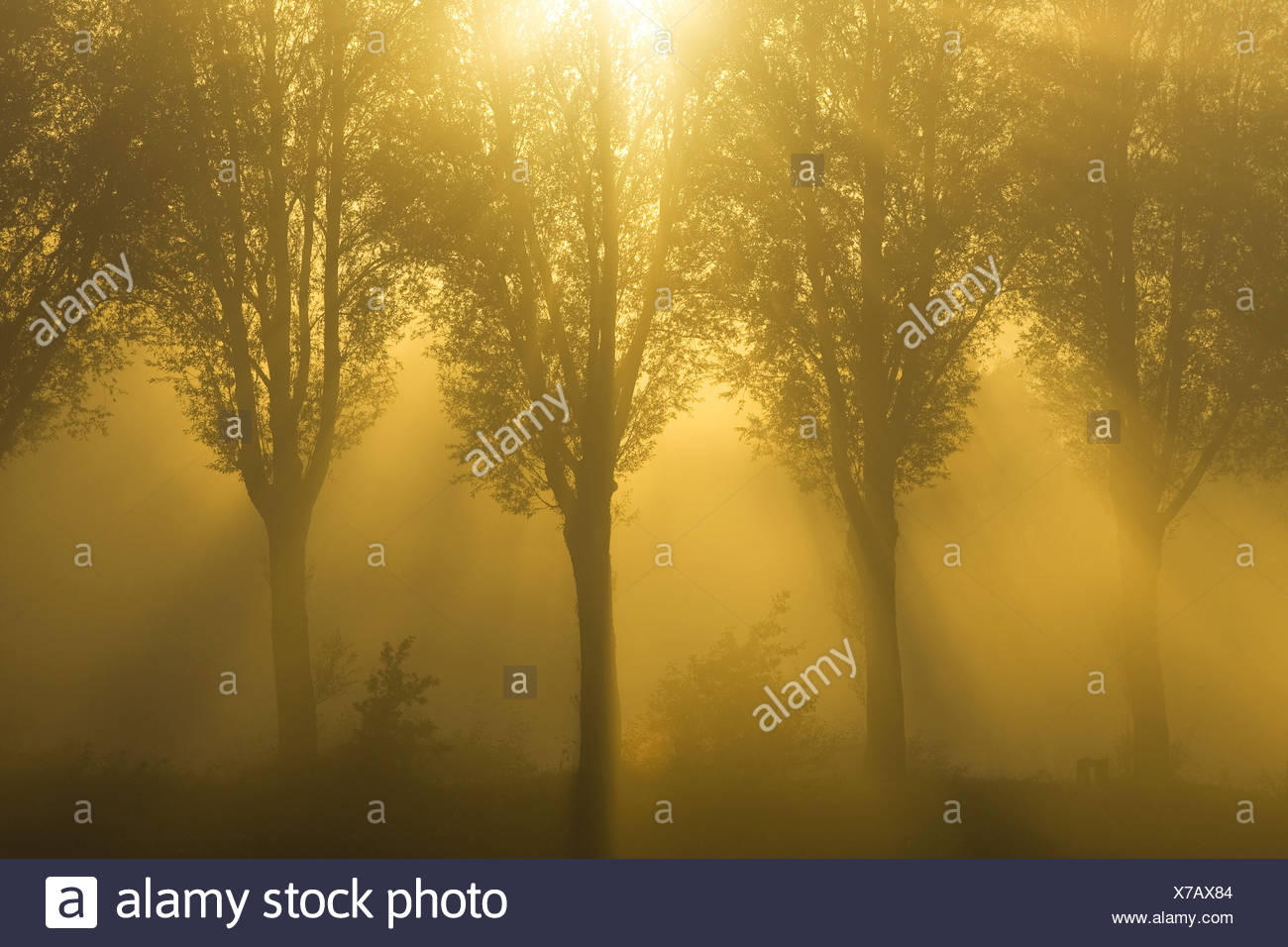 willow, osier (Salix spec.), sun shining through a row of trees in the morning mist, Belgium - Stock Image