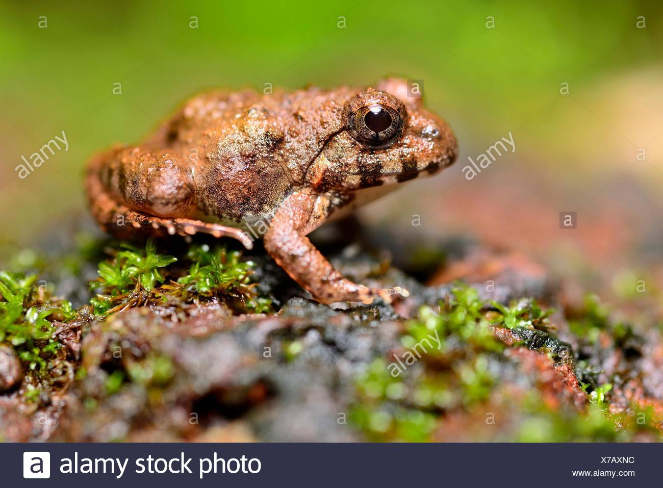 Indian burrowing frog (Sphaerotheca breviceps) in Cotigao sanctuary, Goa, India. - Stock Image