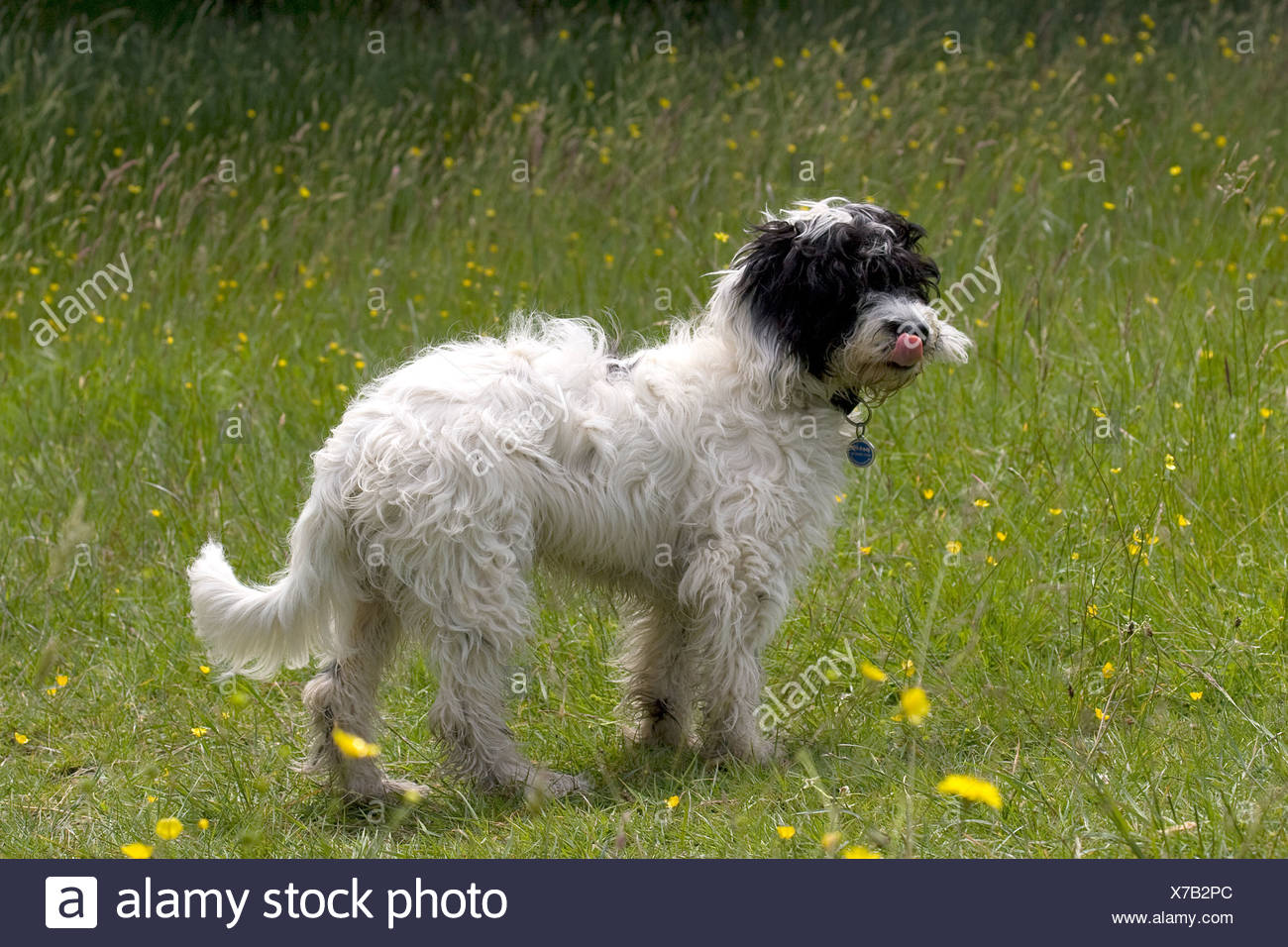cockerpoo dog standing in spring meadow Stock Photo