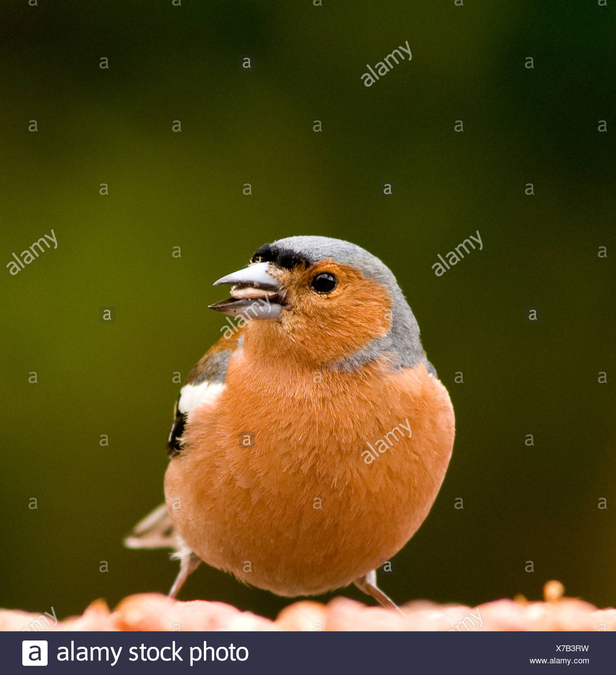 A male chaffinch on a bird table - Stock Image