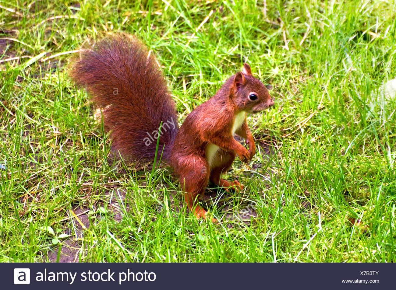 European Squirrel Stock Photo
