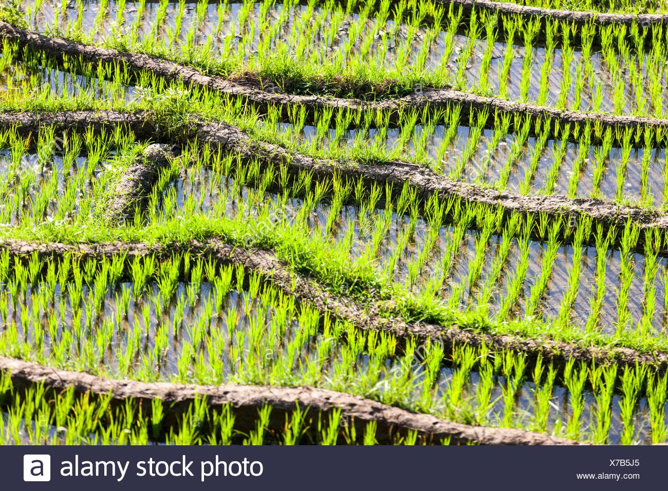 Rice field, detail, Tirtagangga, bei Abang, Bali, Indonesia - Stock Image
