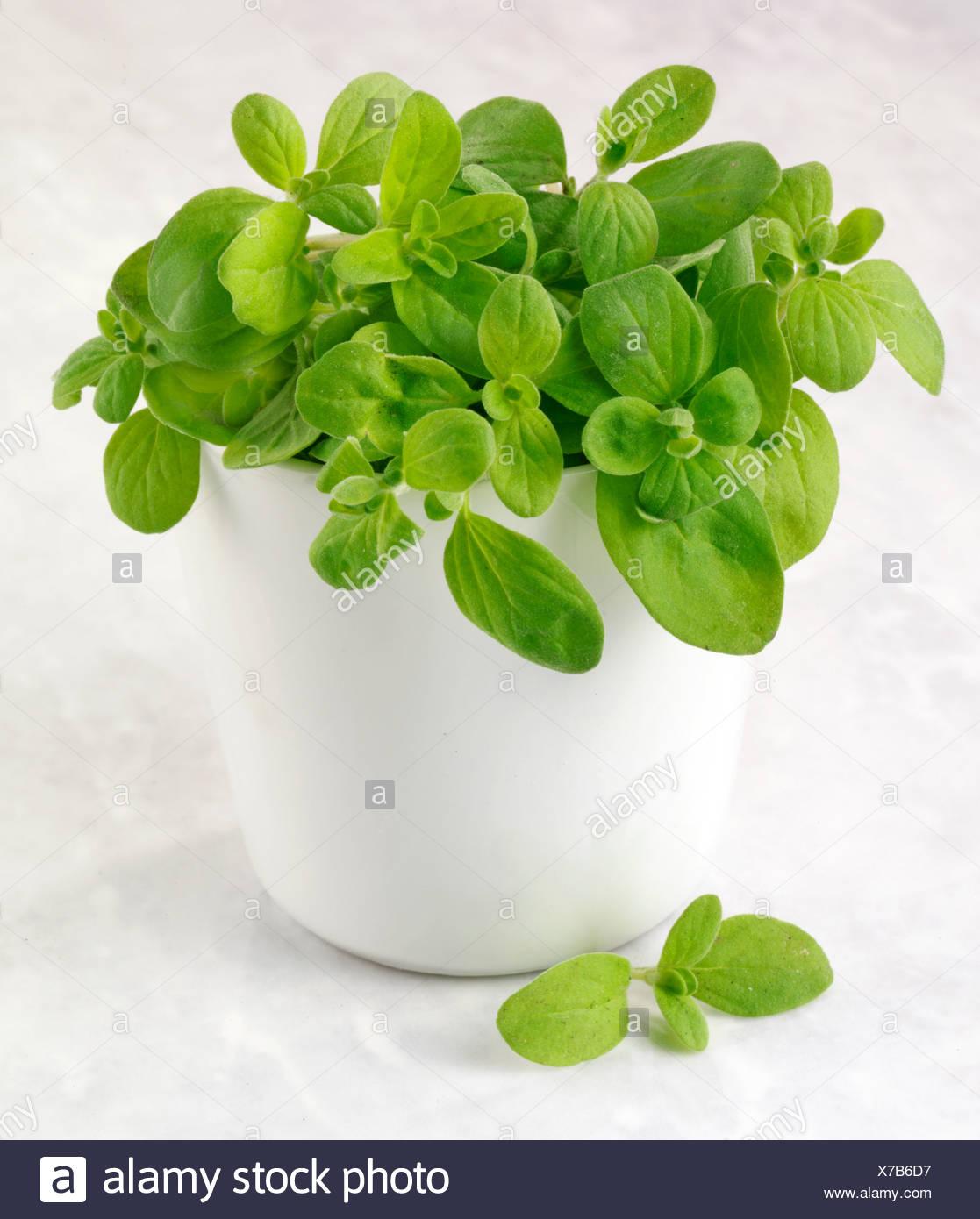 MARJORAM PLANT - Stock Image