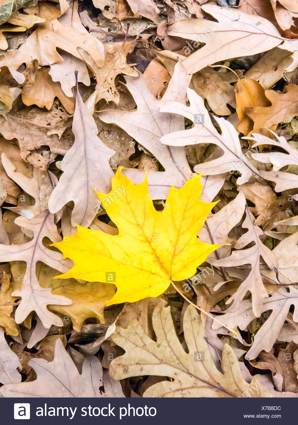 Yellow leaf on dry brown leaves - Stock Image
