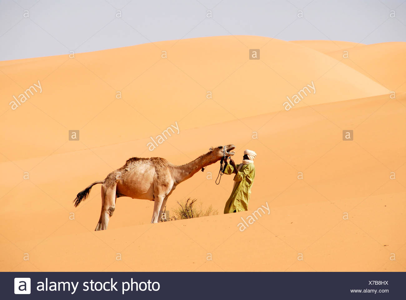 Protest Tuareg tries to hold a camel in the desert Mandara Libya - Stock Image