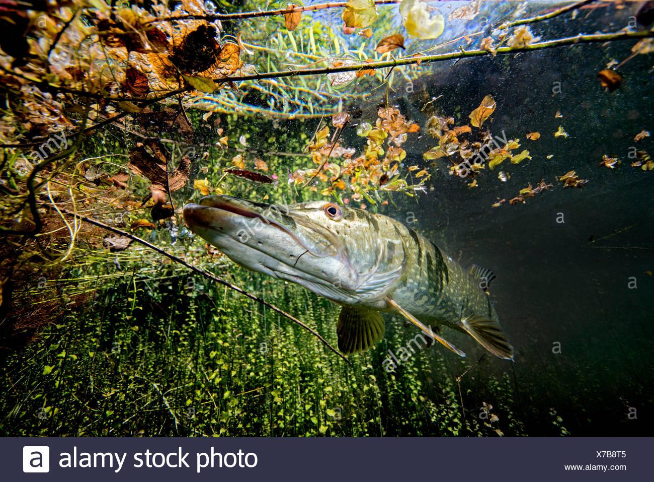 Europa; Deutschland, Bayern, Echinger Weiher, Hecht; Hecht im Flachwasser; hechtartiger; Raubfisch; Süsswasser; Süsswasserfisch; Knochenfisch   Europe - Stock Image