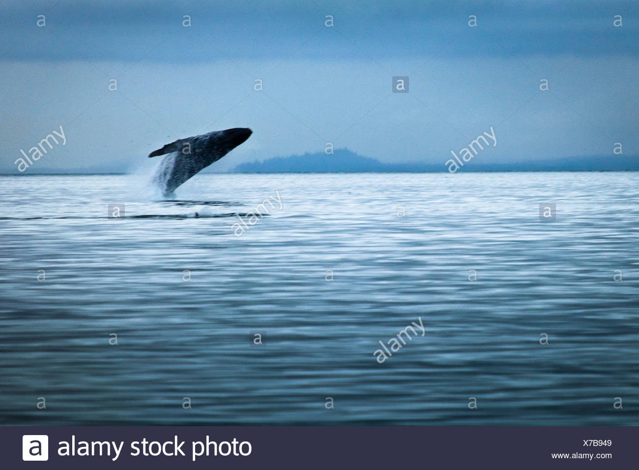 Humpback Whale breaching on an overcast day, Glacier Bay National Park & Preserve, Southeast Alaska, Summer. Stock Photo