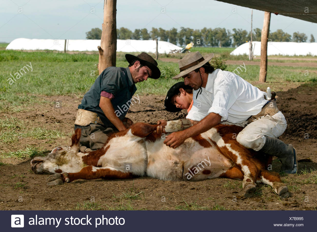 Gauchos with caught cattle, Estancia San Isidro del Llano towards Carmen Casares, Buenos Aires province, Argentina - Stock Image