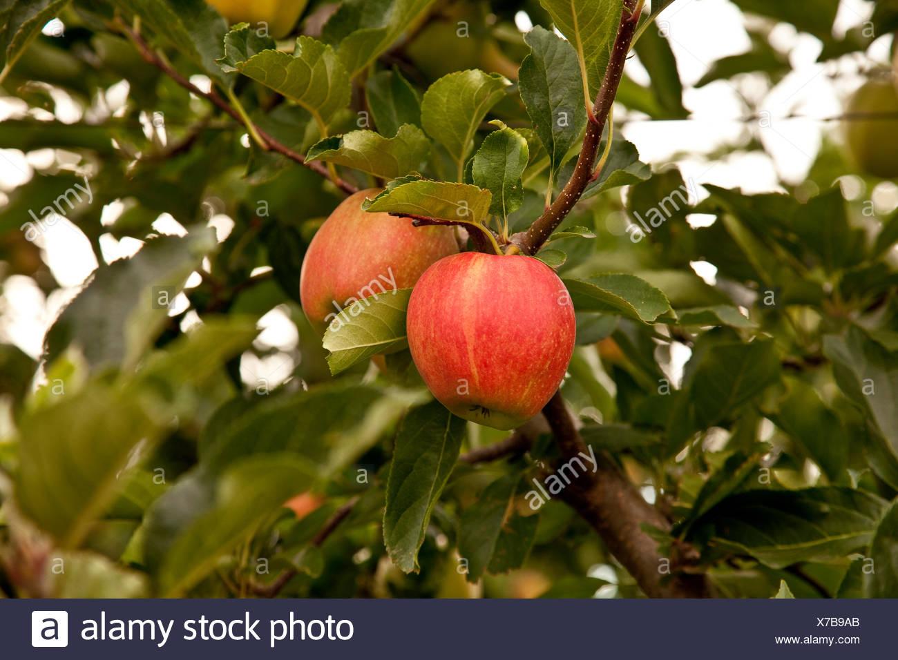 Gala apples ripen on tree, Okanagan Valley, BC, Canada. - Stock Image