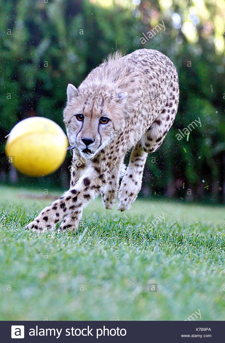 La Barca de la Florida, Spain, cheetah on a farm in Spain - Stock Image