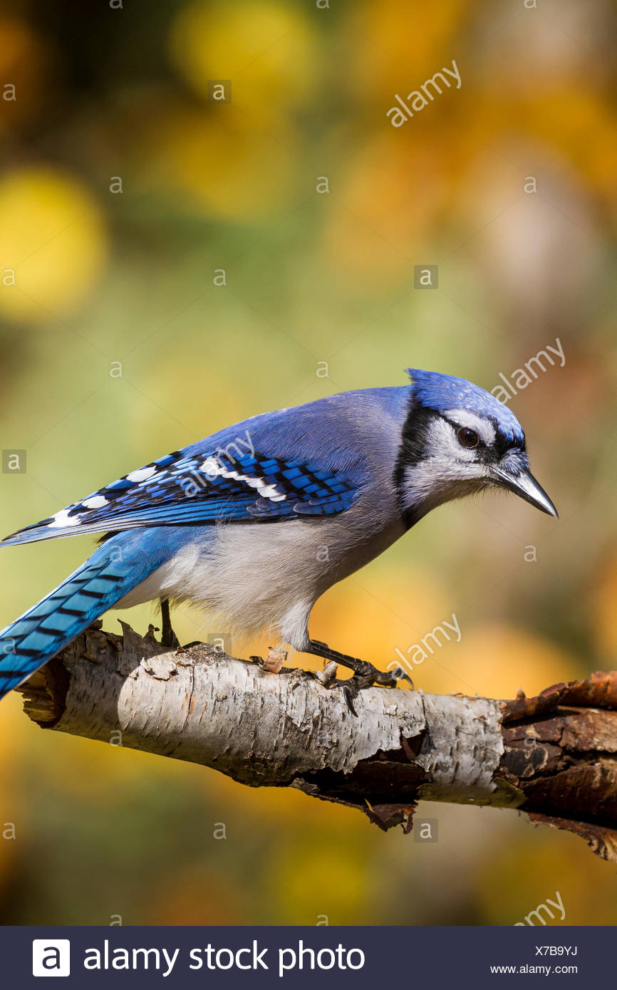 Blue Jay (Cyanocitta cristata), Algonquin Provincial Park, Ontario Stock Photo