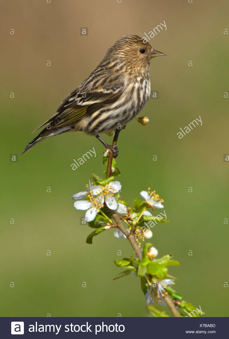 Pine siskin (Carduelis pinus) perched on flowering apple branch in Victoria, Vancouver Island, British Columbia, Canada - Stock Image