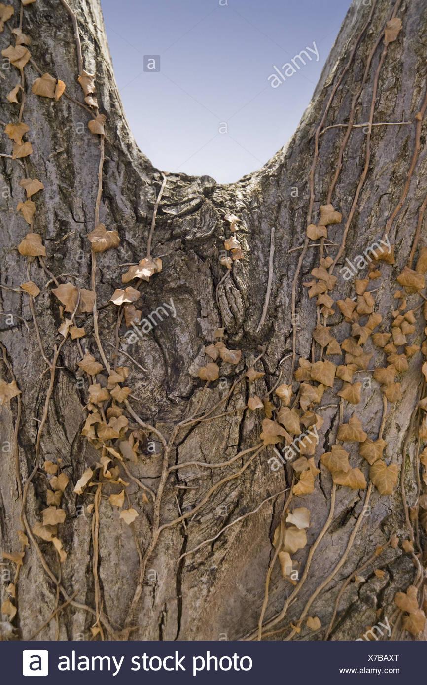 Walnut-tree, Juglandaceae, crotch, detail, tree, trunk