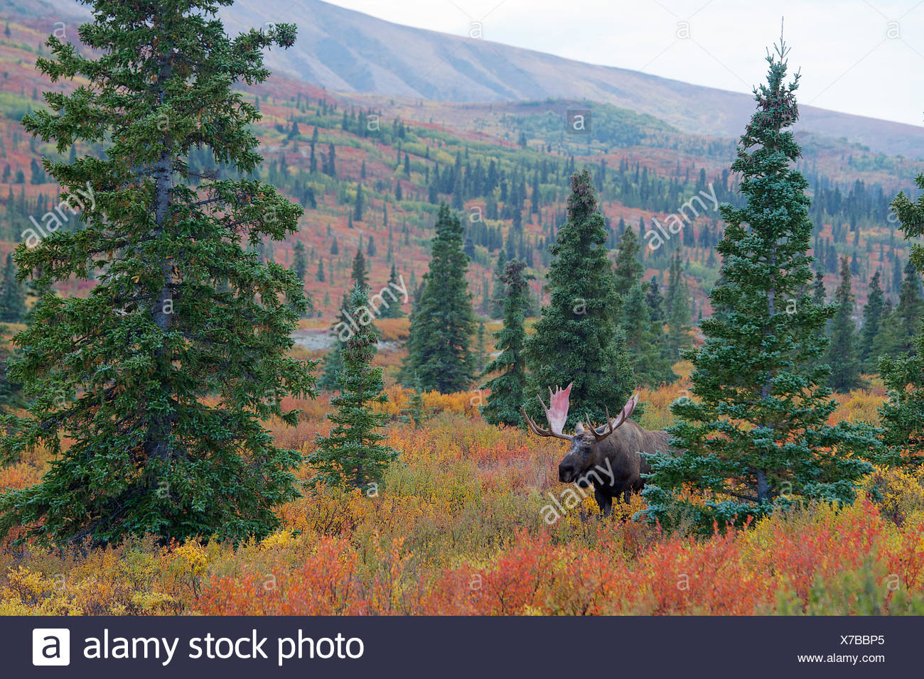 A bull moose decides where to go across the tundra. - Stock Image