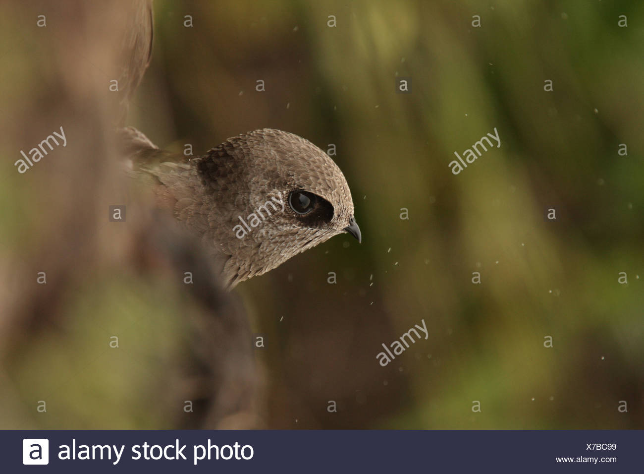 Great Dusky Swift Cypseloides senex adult looking out roost site beside waterfall Parque Nacional Iguazu Misiones Argentina - Stock Image