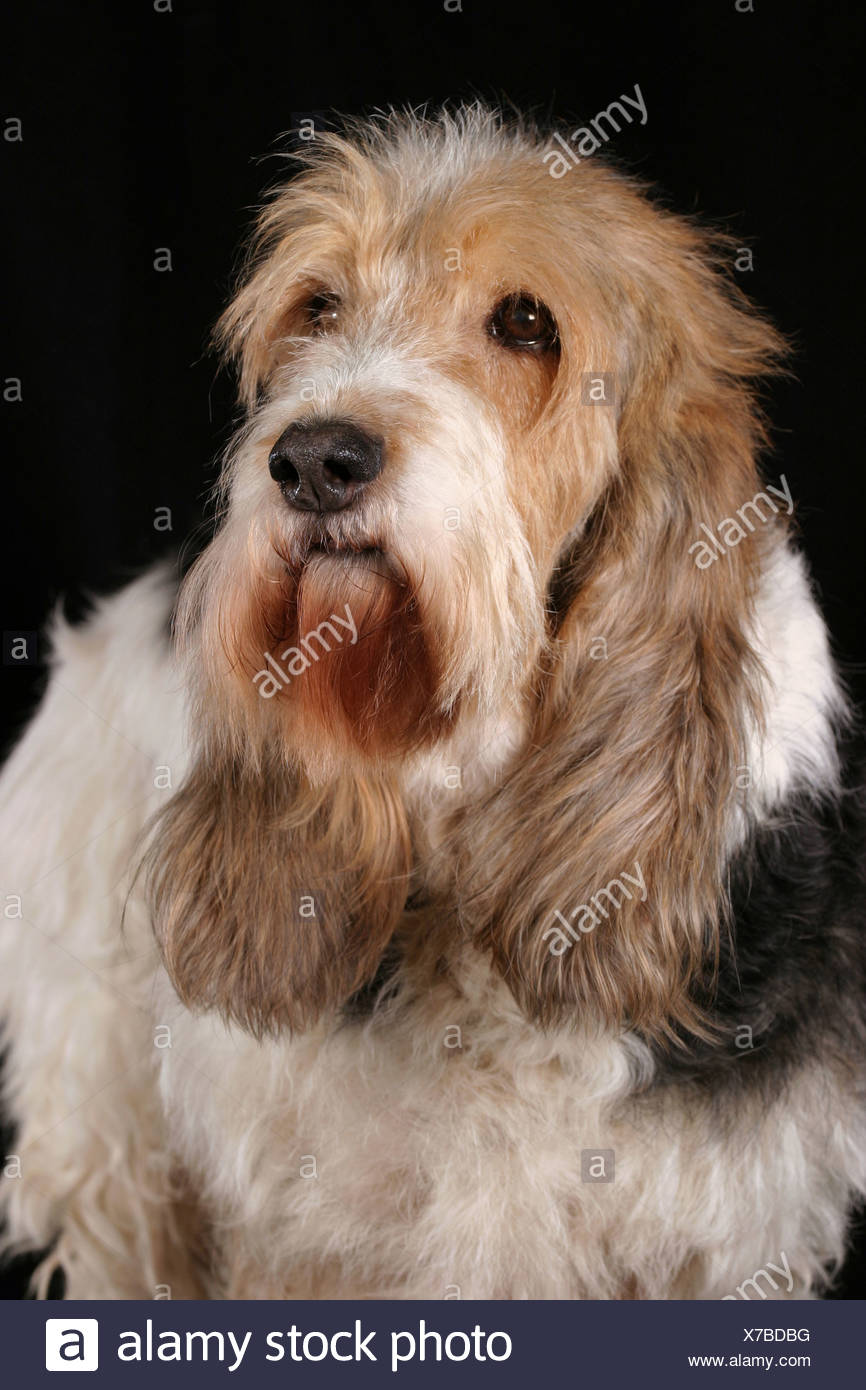 Grand Basset Griffon Vendeen Portrait Stock Photo