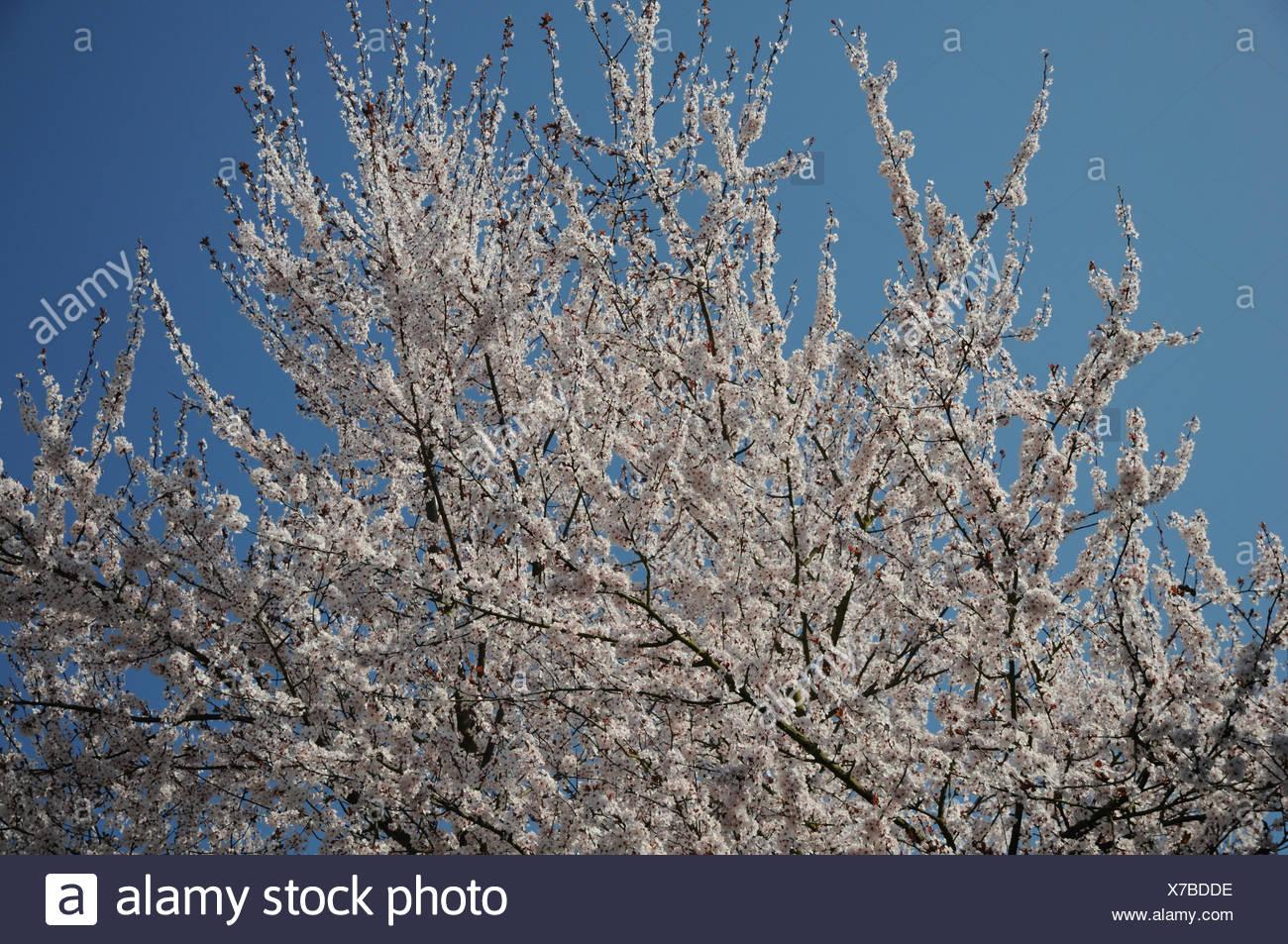 Purple Leaf Cherry Plum Stock Photo 279920522 Alamy