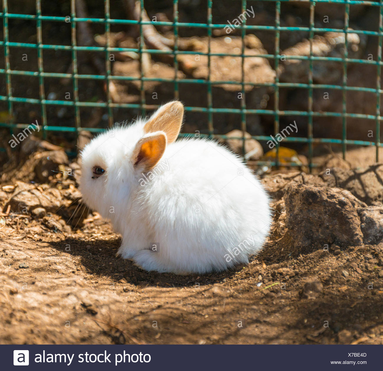 Young white rabbit in a cage, captive - Stock Image