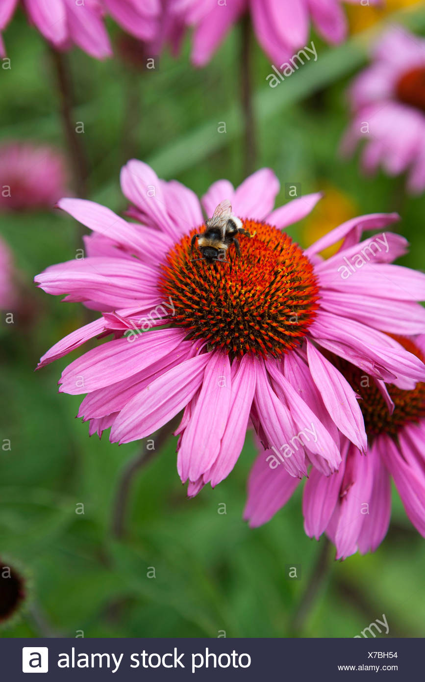 Bee on Echinacea purpurea 'Rubinglow' - Stock Image
