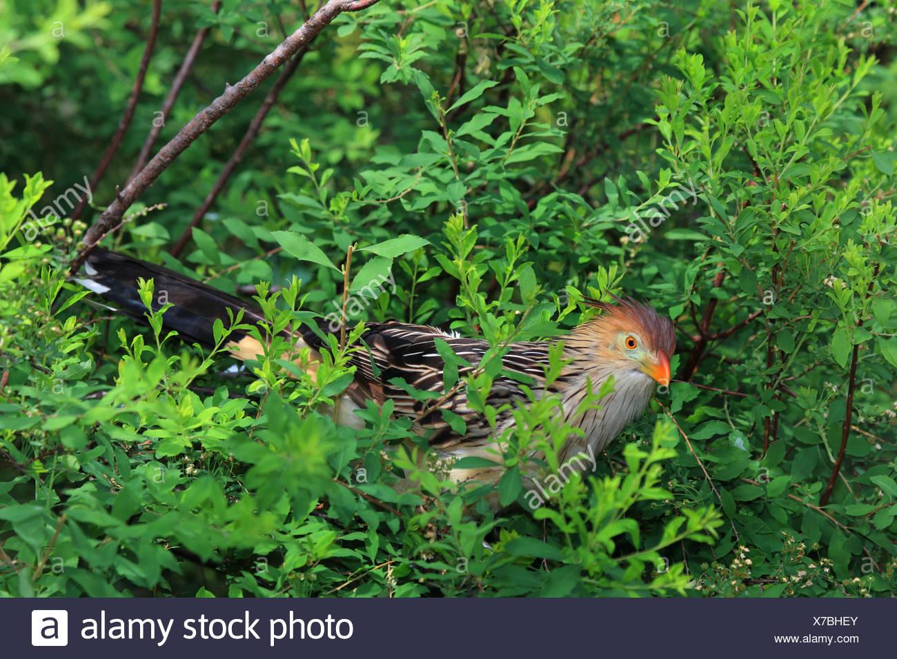 guira cuckoo (Guira guira), sitting in a tree - Stock Image