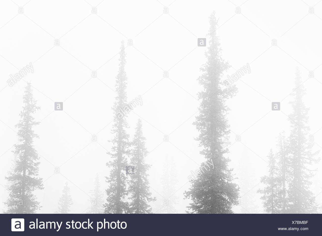 spruces in fog, Lapland, Sweden - Stock Image