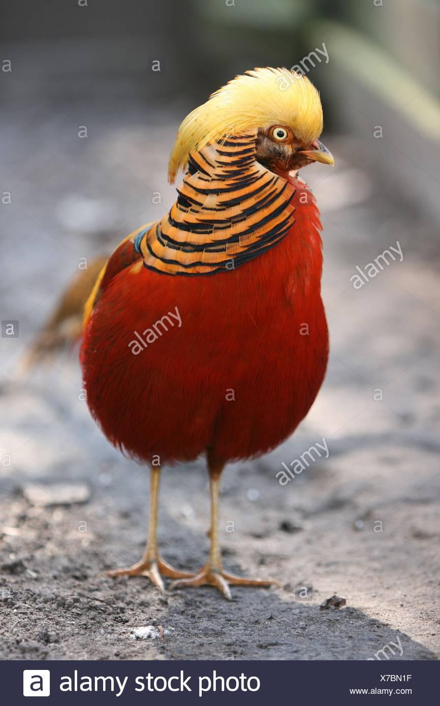 golden pheasant - Stock Image