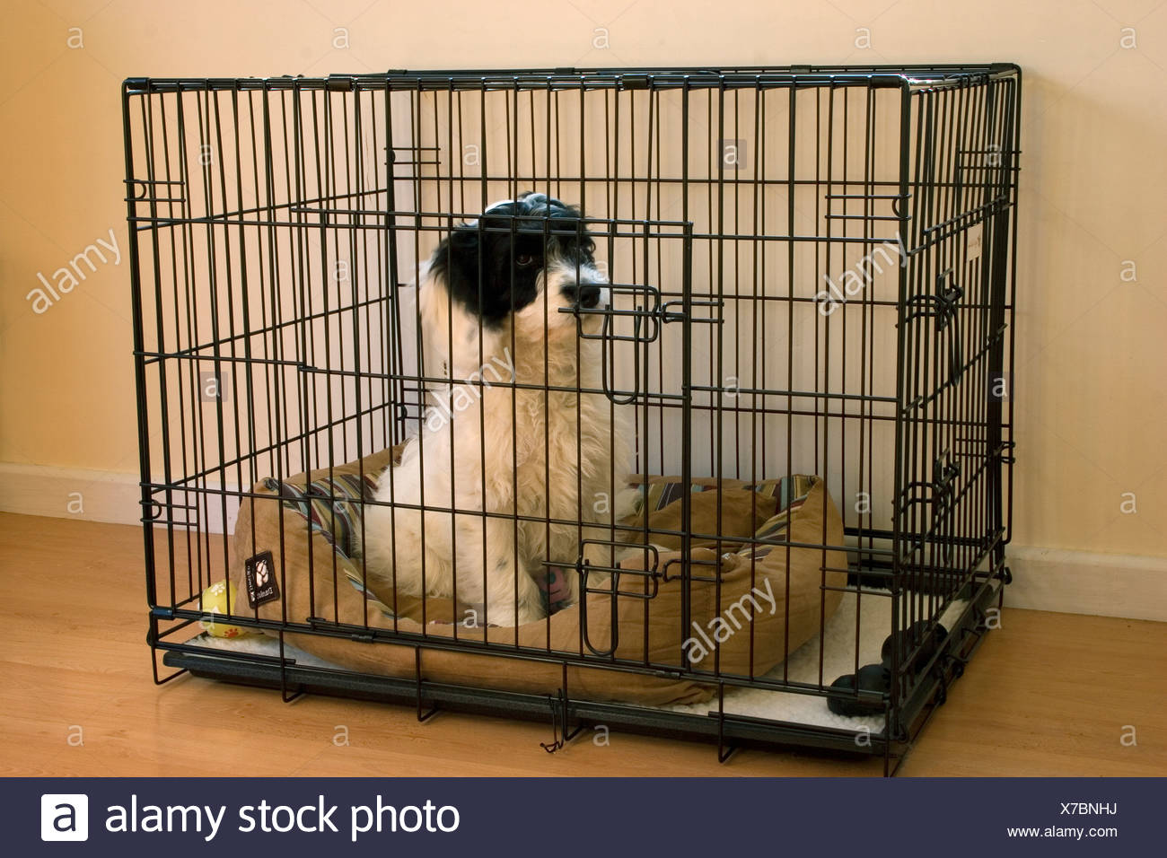 cockapoo puppy sitting in cage indoors - Stock Image
