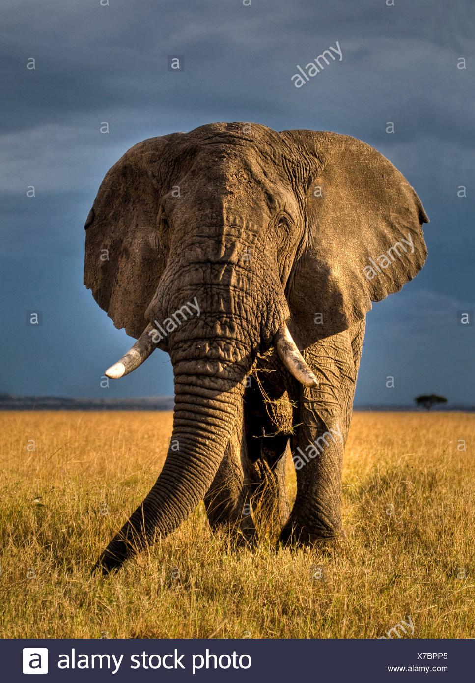 African elephant (Loxodonta africana) bull on savanna, Masai Mara, Kenya  (non-ex) - Stock Image