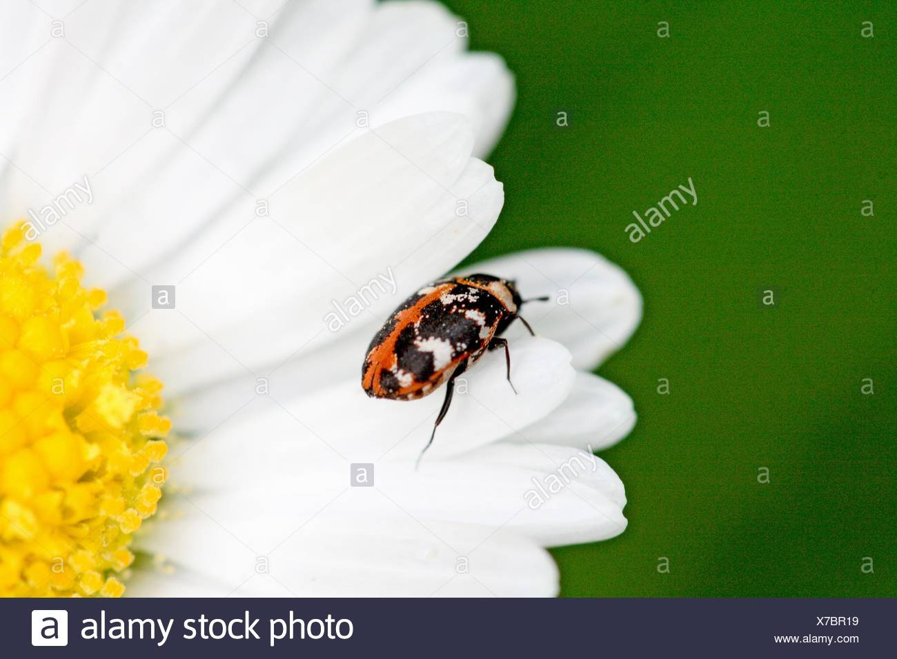 Carpet Beetle, Anthrenus scrophulariae on an English daisy  Dainty beetle with red and white scale pattern  On white petals - Stock Image