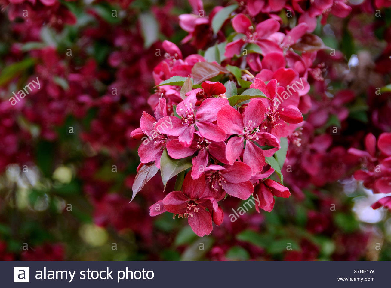 ornamental apple tree (Malus 'Royalty', Malus Royalty), cultivar Royalty, blooming - Stock Image