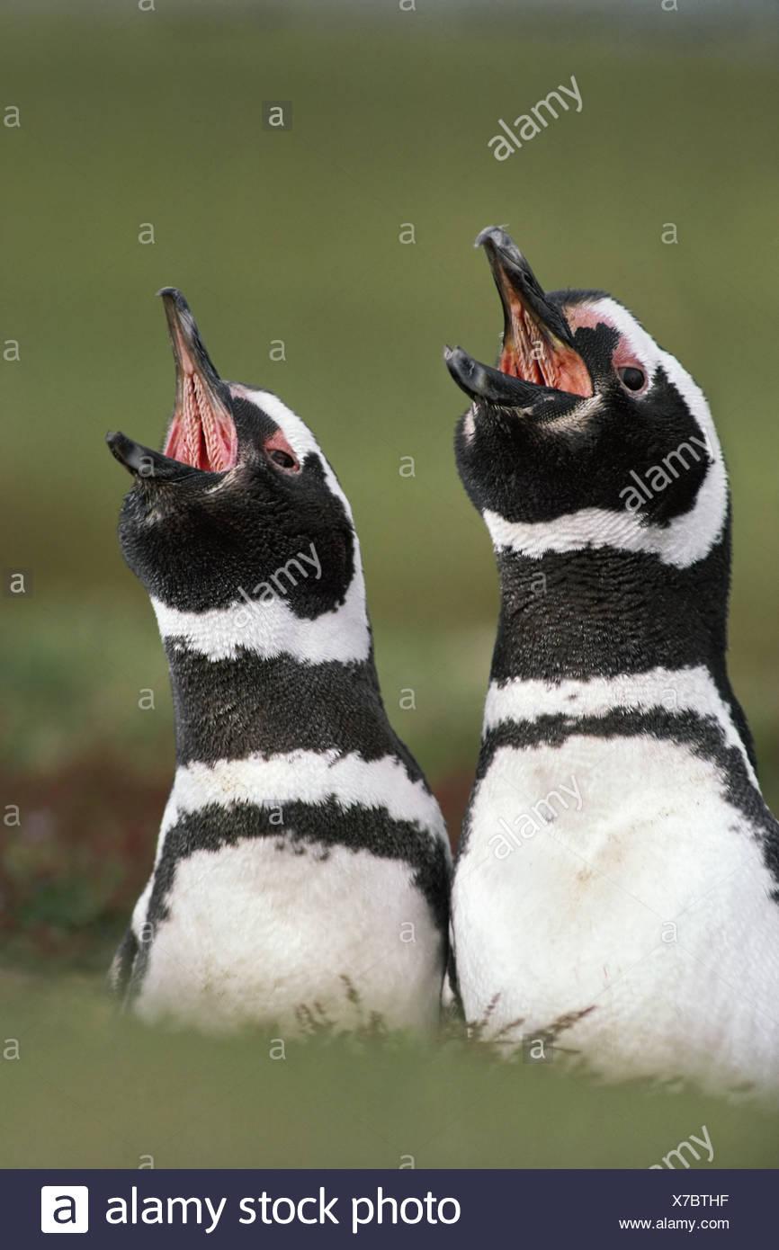 Falkland Islands South Atlantic islands Magellanic penguins calls Spheniscus magellanicus - Stock Image