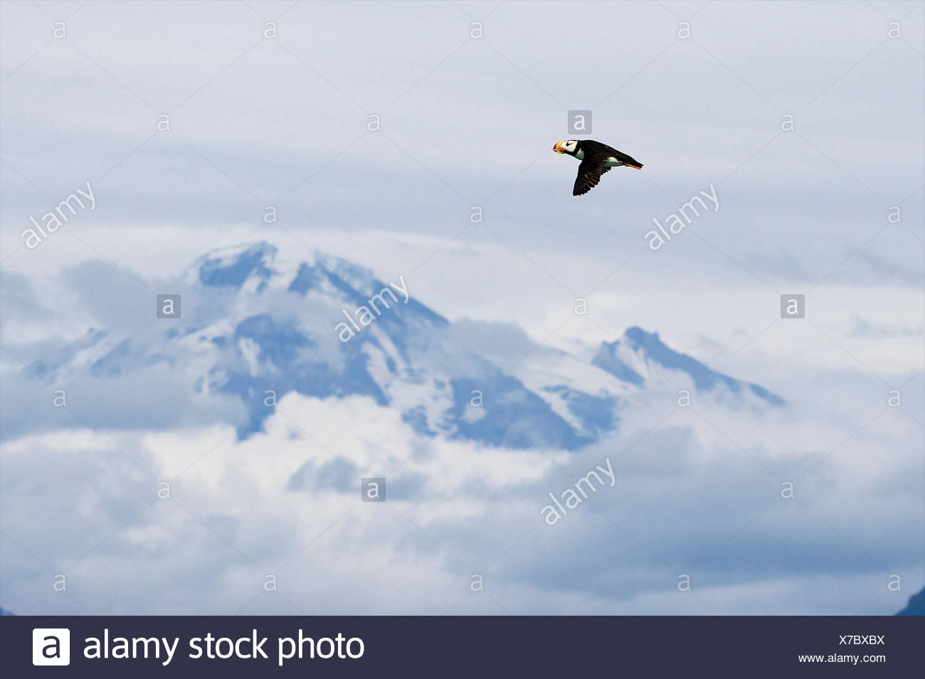 A horned puffin flies high over Mt. ReDoubt. - Stock Image