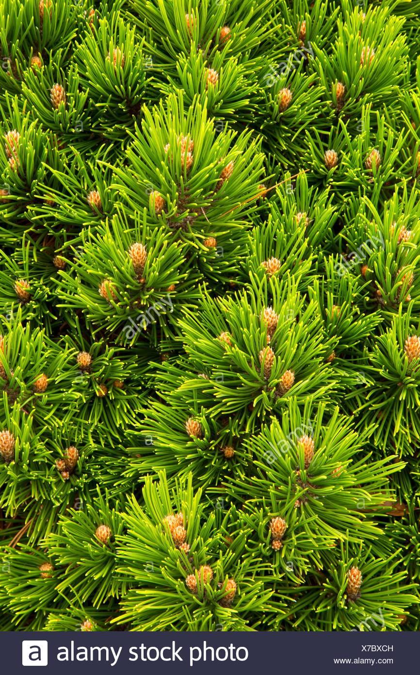 Bosnian pine (Pinus heldreichii), Oregon Garden, Silverton, Oregon. - Stock Image