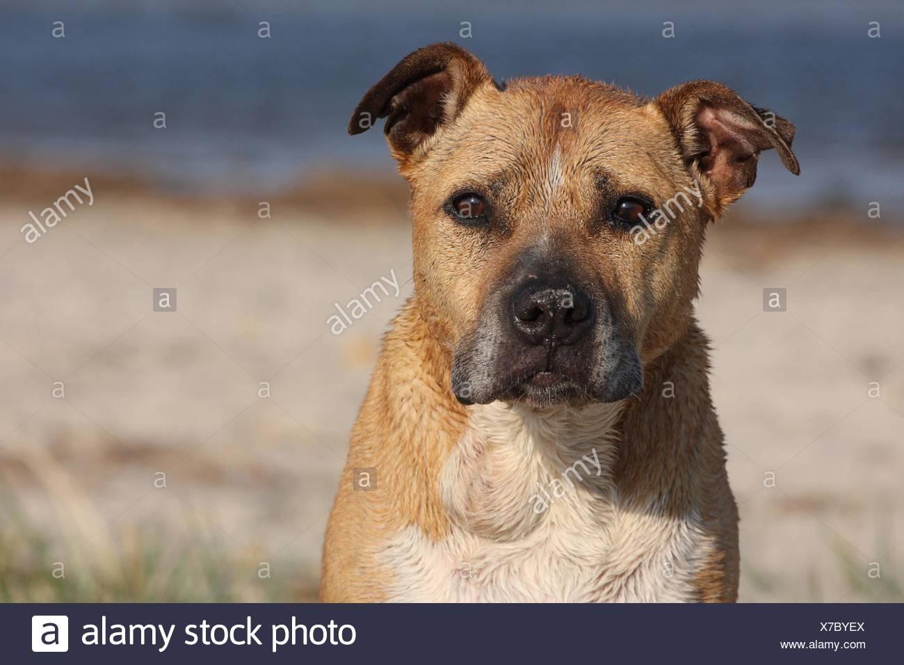 American Staffordshire Terrier Portrait - Stock Image