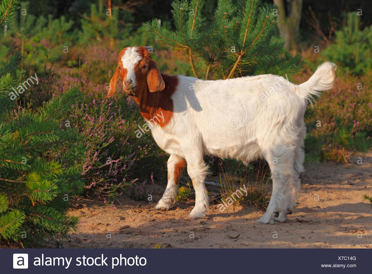 Boer goat, robust goat breed for extensive landscaping, Schleswig-Holstein, Germany - Stock Image